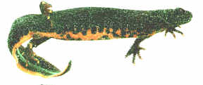 female Great crested newt